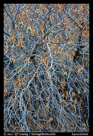 Close-up of Buckeye bare branches in autumn. Pinnacles National Park (color)