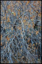 Close-up of Buckeye bare branches in autumn. Pinnacles National Park ( color)