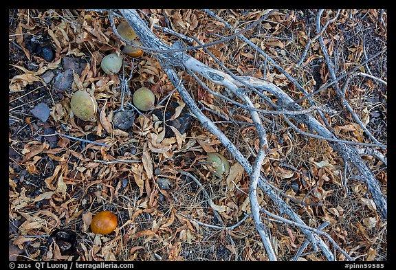 Ground view with Buckeye branches and fallen nuts. Pinnacles National Park (color)
