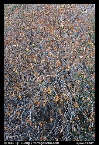 Buckeye branches and fruits in autumn. Pinnacles National Park (color)