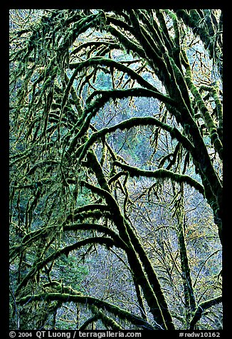 Moss-covered arching tree. Redwood National Park (color)