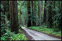 Gravel road, Howland Hill, Jedediah Smith Redwoods. Redwood National Park, California, USA. (color)