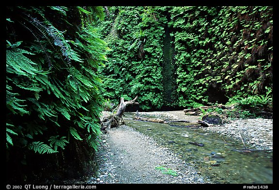 Fern Canyon with Fern-covered walls, Prairie Creek Redwoods State Park. Redwood National Park (color)
