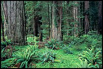 Ferns, redwoods, Del Norte Redwoods State Park. Redwood National Park, California, USA.