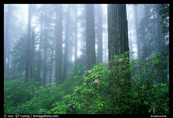 Rododendrons, tall coast redwoods, and fog, Del Norte. Redwood National Park, California, USA.