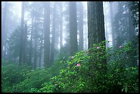 Rododendrons, tall coast redwoods, and fog, Del Norte. Redwood National Park, California, USA. (color)