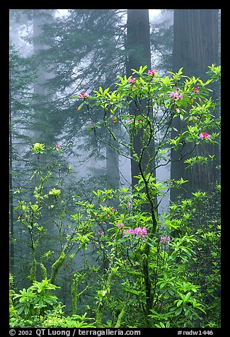 Rododendrons, coast redwoods, and fog, Del Norte Redwoods State Park. Redwood National Park (color)
