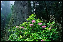 Rododendrons in bloom and thick redwood tree, Del Norte Redwoods State Park. Redwood National Park, California, USA.