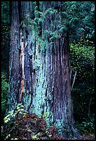 Redwood trunk (scientific name: sequoia sempervirens). Redwood National Park, California, USA. (color)