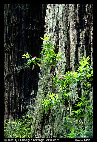 Redwood trunk and rododendron. Redwood National Park (color)