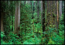 Old-growth redwood forest, Howland Hill, Jedediah Smith Redwoods State Park. Redwood National Park, California, USA.