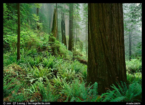 Ferns and trunks, foggy forest, Del Norte Redwoods State Park. Redwood National Park (color)