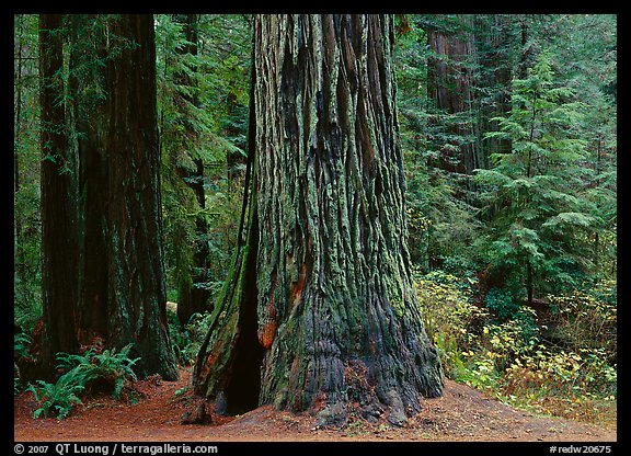 Base of gigantic redwood trees (Sequoia sempervirens), Prairie Creek Redwoods State Park. Redwood National Park (color)