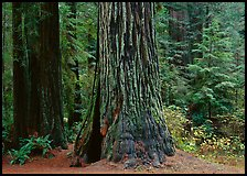 Base of gigantic redwood trees (Sequoia sempervirens), Prairie Creek. Redwood National Park, California, USA. (color)