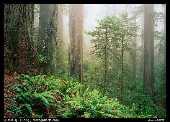 Ferns, coast redwoods, and fog, Del Norte Redwoods State Park. Redwood National Park (color)