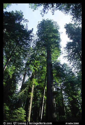 Towering redwoods, Lady Bird Johnson grove. Redwood National Park (color)