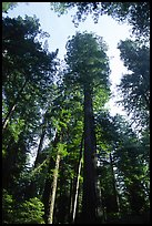 Towering redwoods, Lady Bird Johnson grove. Redwood National Park, California, USA. (color)