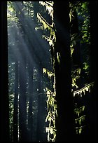 Moss and backlighted branches. Redwood National Park, California, USA.