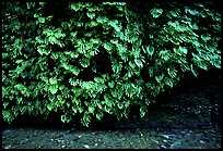 Fern-covered wall, Fern Canyon. Redwood National Park, California, USA. (color)