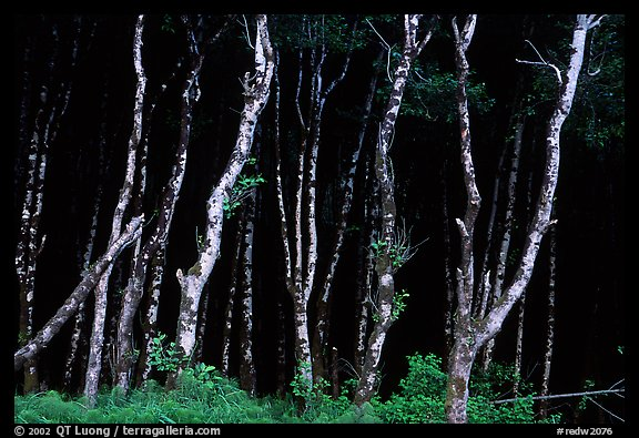 Light Trees near Fern Canyon, Prairie Creek Redwoods State Park. Redwood National Park (color)
