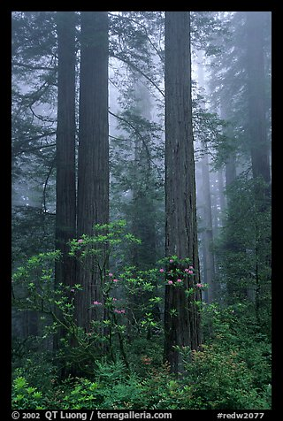 Redwood and rododendron trees in fog, Del Norte Redwoods State Park. Redwood National Park (color)