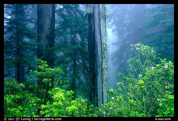 Rododendrons and redwood grove in fog, Del Norte Redwoods State Park. Redwood National Park (color)
