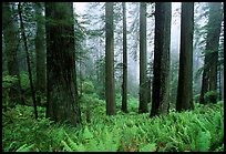 Ferns, redwood forest, and fog, Del Norte Redwoods State Park. Redwood National Park, California, USA.