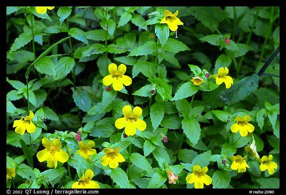 Close-up of yellow wildflowers. Redwood National Park (color)