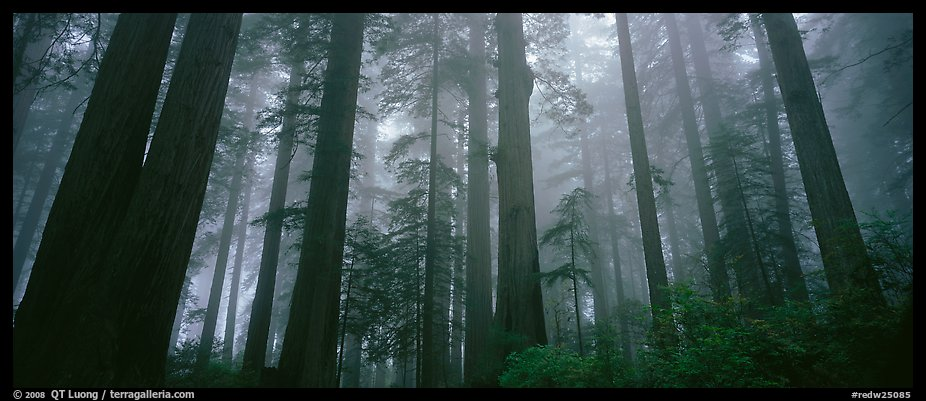 Tall forest in mist, Lady Bird Johnson Grove. Redwood National Park (color)