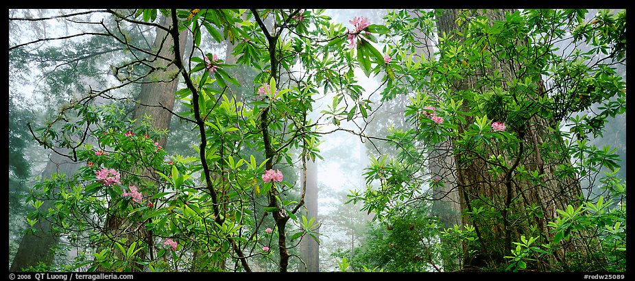 Airy forest scene with rhododendrons. Redwood National Park (color)