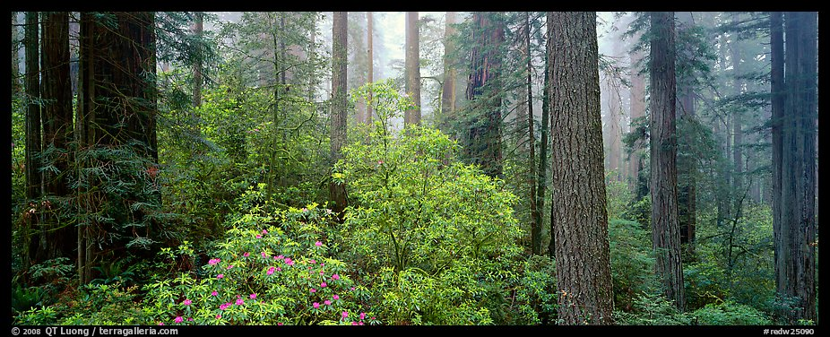 Spring forest with rhododendrons. Redwood National Park (color)