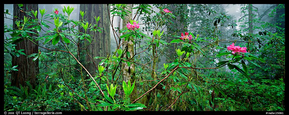 Rhododendrons in misty forest. Redwood National Park (color)