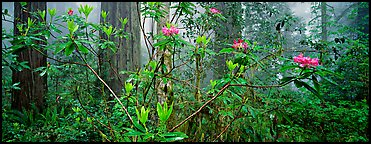 Rhododendrons in misty forest. Redwood National Park (Panoramic color)