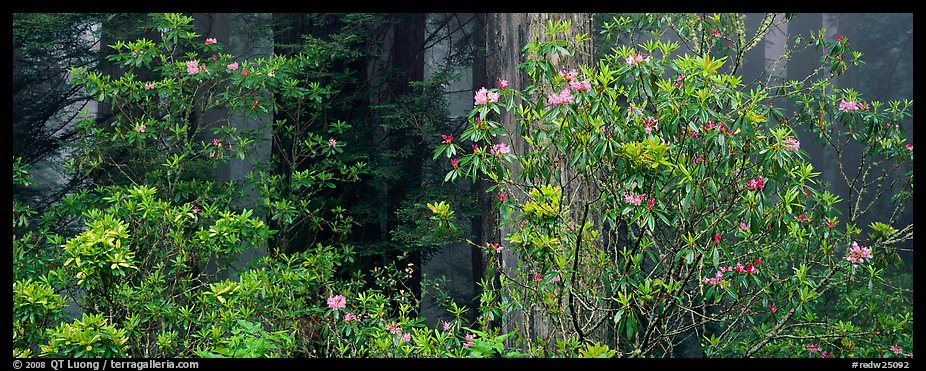 Redwood forest with rhododendrons. Redwood National Park (color)