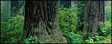 Redwood tree trunks and rhododendrons. Redwood National Park (Panoramic color)
