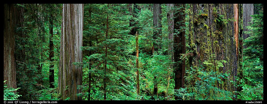 Lush Redwood forest. Redwood National Park (color)