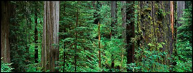Lush Redwood forest. Redwood National Park (Panoramic color)
