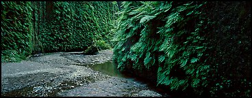 Stream in Fern Canyon. Redwood National Park (Panoramic color)