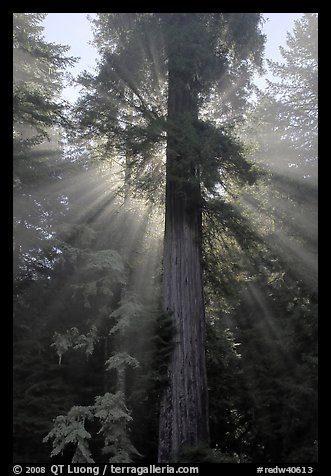 Redwood tree and sun rays in fog, Del Norte Redwoods State Park. Redwood National Park (color)