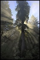 Sunrays in fog behind tall redwood, Del Norte Redwoods State Park. Redwood National Park, California, USA.