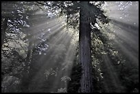 Sun rays diffused by fog in redwood forest, Del Norte Redwoods State Park. Redwood National Park, California, USA.