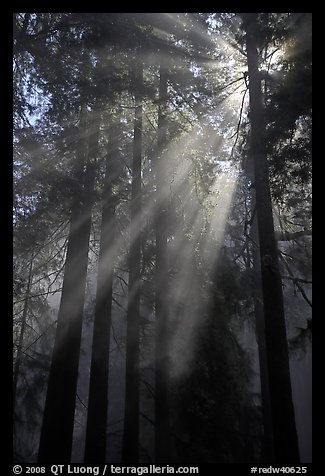 Redwood forest and sun rays, Del Norte Redwoods State Park. Redwood National Park (color)