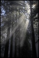 Redwood forest and sun rays, Del Norte Redwoods State Park. Redwood National Park, California, USA.