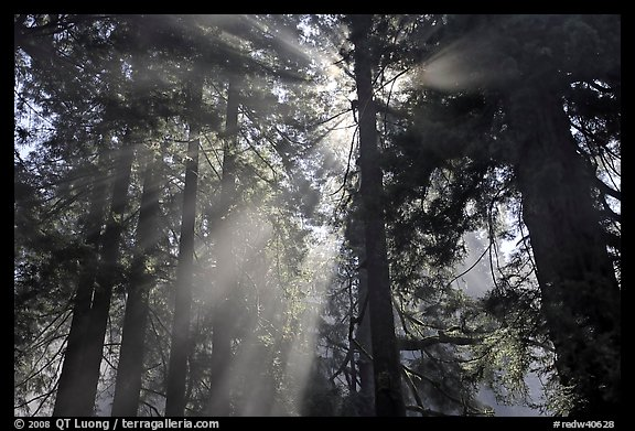 Tall redwood trees and backlit sun rays, Del Norte Redwoods State Park. Redwood National Park (color)