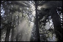 Tall redwood trees and backlit sun rays. Redwood National Park, California, USA. (color)