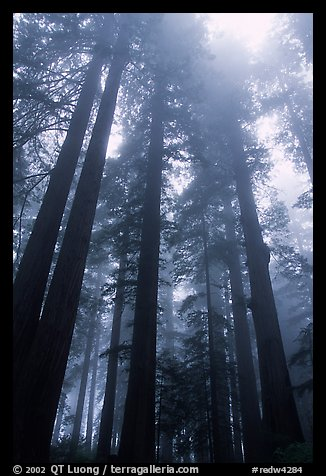 Tall redwood trees in fog, Lady Bird Johnson grove. Redwood National Park (color)