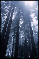Tall redwood trees in fog, Lady Bird Johnson grove. Redwood National Park, California, USA.