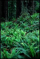 Dense pacific sword ferns and redwoods, Prairie Creek Redwoods State Park. Redwood National Park, California, USA.