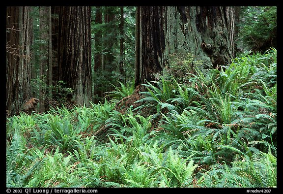 Pacific sword ferns in redwood forest, Prairie Creek Redwoods State Park. Redwood National Park (color)
