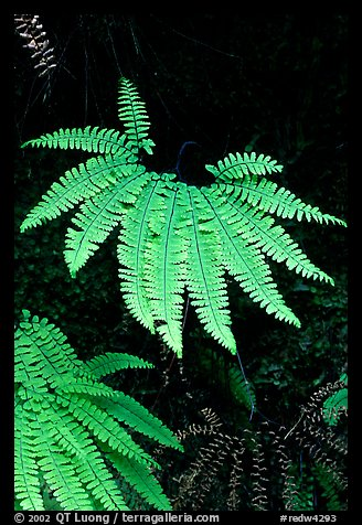 Ferns, Fern Canyon, Prairie Creek Redwoods State Park. Redwood National Park (color)